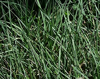 1 Pound Bulk Buffalograss