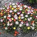 100 pcs/bag mix rainbow daisy seeds,chrysanthemum seeds,rare flower seeds,Natural growth for home garden planting