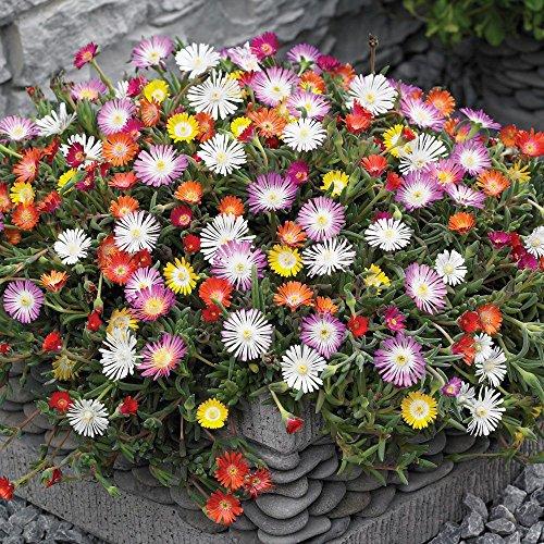 Qulista Samenhaus - Rarität 50pcs Mittagsblume Eisblume Bodendecker Blumensamen winterhart mehrjärhig Für Beet und Kübel