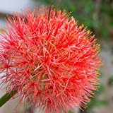 Scadoxus African Blood Lily (Haemanthus Multiflorus) 3 Large Bulbs   Ships from Easy to Grow TM