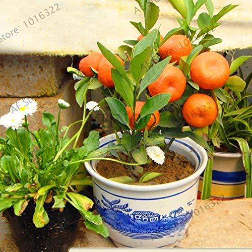 Elitely Obst Samen Orangenbaum Garten Zwerg Washington Navel Wachsen Zuhause In Bonsai Oder Im Freien 30 Teile/beutel, F8H6Mh