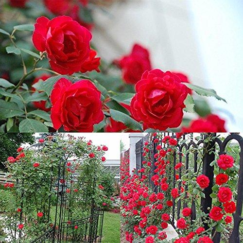 Belles Plantes d'intérieur Fleurs Romantique Escalade 6 Variété Couleur Rose Graines Rosa Multiflora Perennial jardin Décor Zaden
