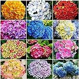 astonish i semi della confezione: 50pcs perenni semi giardino della casa bianca ortensia semi facile da coltivare flower. us