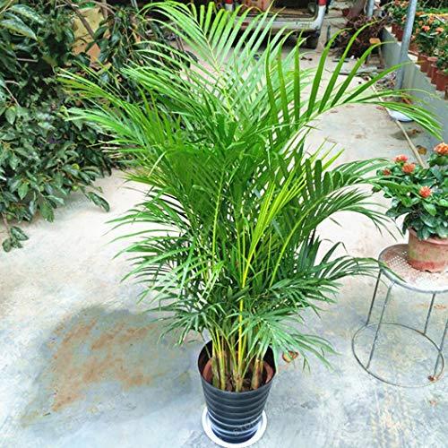 Tomasa Gartensamen- Selten Areca Baumsamen Chrysalidocarpus Lutescens Samen Bonsai Areca Palme Pflanzensamen exotische Samen für Terrasse,Balkon,Garten