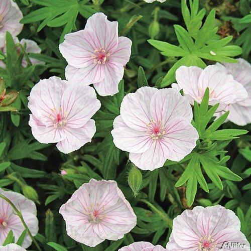 Storchschnabel 'Apfelblüte' (Geranium sanguineum) - 1 Pflanze