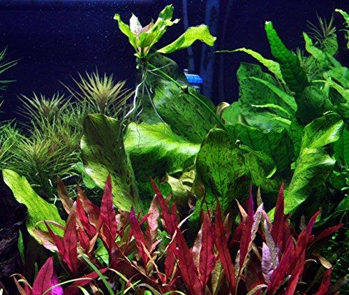 WFW wasserflora MUTTERPFLANZE Gefleckte grüne Schwertpflanze/Echinodorus ozelot grün