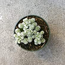 Thimble Cactus Mammillaria Small Cactus Gracilis Fragilis Cute Little Cactus Green Spiky Cactus Thimble Cactus Cluster Rare Cactus - 2'' + Clay Pot