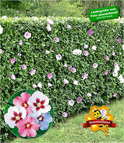 BALDUR Garten Winterharte Hibiskus-Hecke, 10 Pflanzen, Garteneibisch Roseneibisch, Hibiscus Syriacus Blütengehölze Zierstrauch