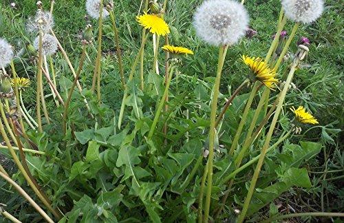 Il vous suffit de graines de fleurs sauvages???Taraxacum Sect. officinale???Graines de pissenlit???1000???Tortue Nourriture