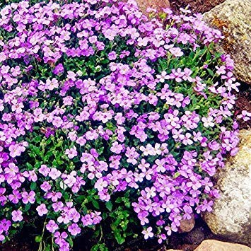 100 Creeping Thyme Seeds Flower Seeds ROCK CRESS GROUND COVER Seeds Carpet Evergreen Plant Easy To Grow For Garden Lawn 2