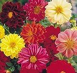 (2) Beautiful Flowering Blooms Dahlia Border Mix Bulb/rhizome/root/plant Perennial