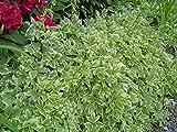 HeirloomSupplySuccess TM 25 Heirloom Snow on The Mountain Bishop's Weed, Gout Weed Seeds