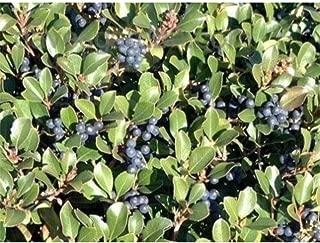 100 Indian Hawthorn Fresh This Season's Harvest Seeds #DS05