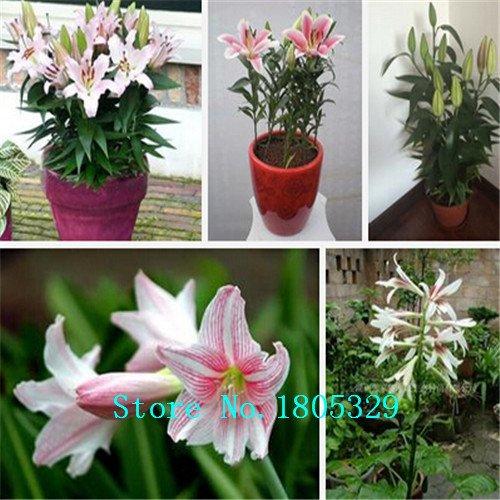 lily Graines Hemerocallis Primal Scream Graines Hemerocallis Fulva Day-lily Fleur orange plantes couvre-sol