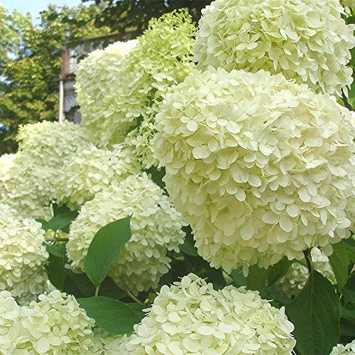 Mein schöner Garten Rispenhortensie 'Limelight' 2er Set - Hortensie - Hydrangea paniculata Limelight - Blütenbälle in weiß - Liefergröße 20-40cm - winterhart - mehrjährig