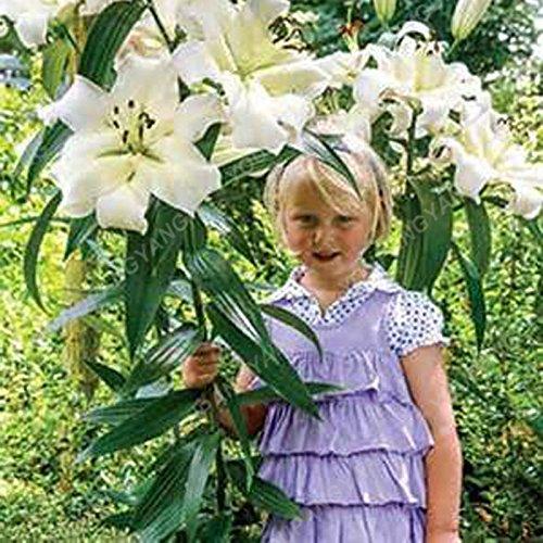 Promotion!! 100 pcs/sac géant Lily Graines pas cher Lily Graines de fleurs Barbade Lily en pot Graine Bonsai Balcon Fleur Livraison gratuite Jaune