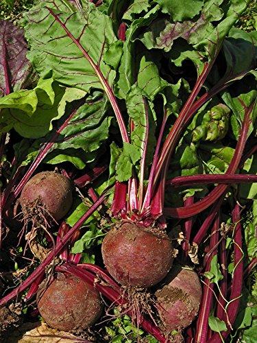 Rote Bete 'Robuschka' (Beta vulgaris) Bio 100 Samen Rote Rübe Beete Rahne Rohne Rande