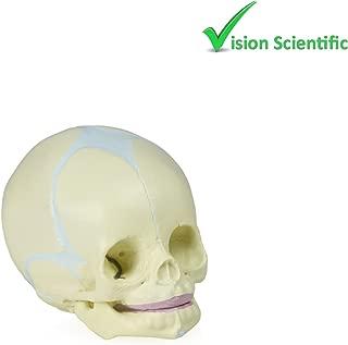 Vision Scientific VAL222 Human Fetal Skull   Life-Size   30 Week of Pregnancy   Exhibits Cranial, Facial Components, Fontanels and Developing Bones