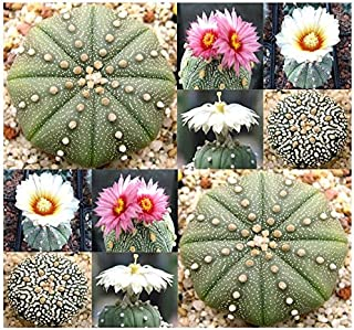 Astrophytum Asterias - Sand Dollar Cactus, Sea Urchin Cactus - Fresh Seeds - by MySeeds.Co (0010 Seeds - 10 Seeds - Pkt. Size)