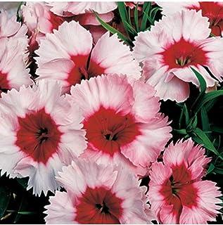 100 Dianthus Seeds Super Parfait Strawberry Pelleted Seeds TkMorebargins
