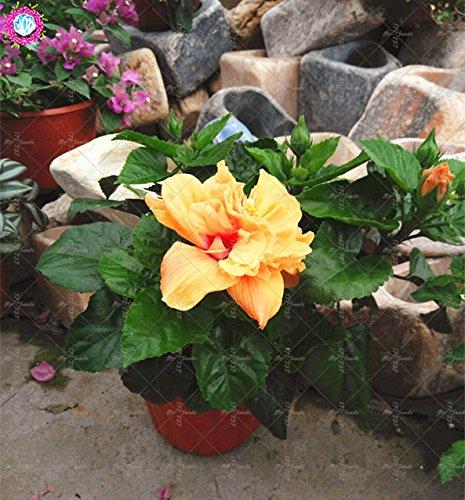 100PCS géant pétales de double graines d'hibiscus rares graines d'hibiscus bleu graines de fleurs Bonsai Plante vivace à l'intérieur pour le jardin à la maison 10