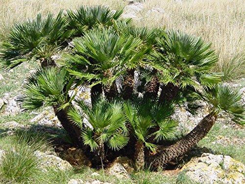 15 Graines Chamaerops Humilis européenne Fan/Méditerranée Fan Palm