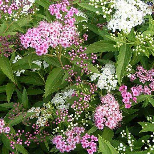 FERRY HOCH KEIMUNG Seeds Nicht NUR Pflanzen: Spiraea * Shirobana * 3.5
