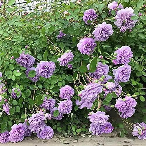 Das ganze Jahr über blühen,,Kletterrebe Rose Garten Balkon Kletterwand-1_200pcs,Gemischte Ziersamen