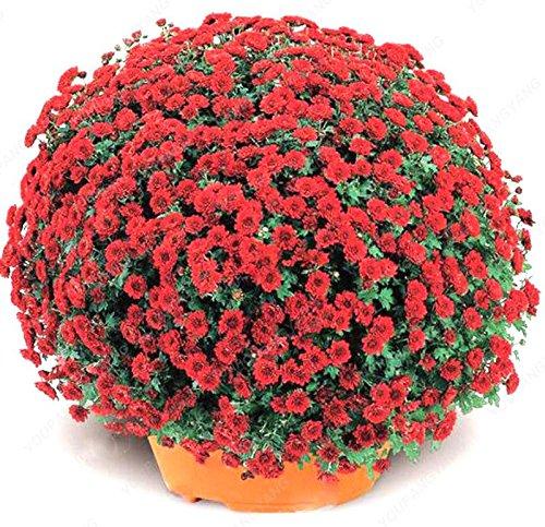 100pcs / sac couvre-sol Chrysanthème Seeds Facile à cultiver des graines de fleurs pour jardin Bonsai Plantes vertes