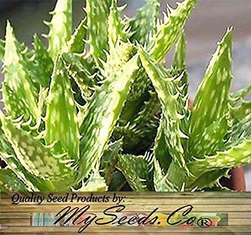 20 graines - Aloe Graines Mix Graines - Comprend ALOE VERA Seeds