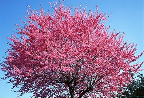 vente Hot 120 pcs graines sakura rouge cerise oriental graines de fleurs Bonsai plantes Semences pour la maison et le jardin