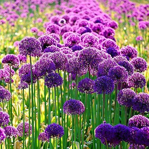 5 bombillas Allium exóticas colores brillantes llamativos flores esféricas moradas fáciles de brotar rápido crecimiento bienvenido por los niños primavera Blooming