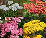David's Garden Seeds Collection Set Flower Achillea Yarrow 7337 (Multi) 4 Varieties 1900 Non-GMO, Open Pollinated Seeds