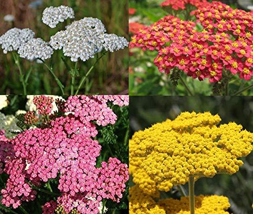 David's Garden Seeds Collection Set Flower Achillea Yarrow 7337 (Multi) 4...
