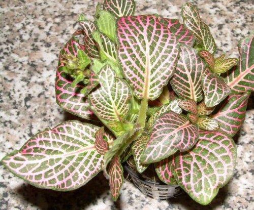 3 Töpfe Fittonia argyronauta, rot, Sumpfpflanze