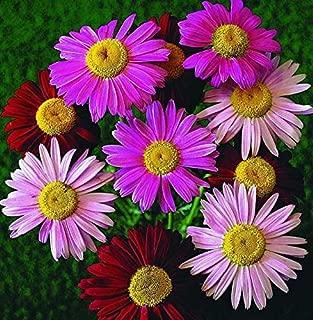 Best pyrethrum flower seeds Reviews