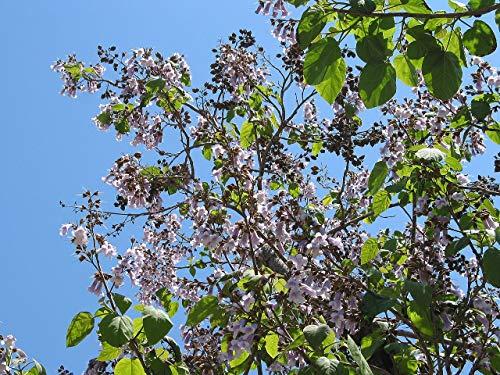 Blauglockenbaum Paulownia tomentosa Pflanze 15-20cm Kaiserbaum Kaiser-Paulownie