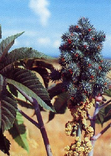 TROPICA - Ricinus communis L. (Ricinus communis L.) - 15 Samen