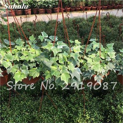 Pearl Chlorophytum Seeds 100 Pcs Hanging type de pot Chlorophytum Plantes fleuries Accueil Intérieur air frais Jardin résistant au froid 9