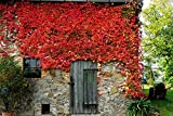 Selbstklimmender Wein Veitchii Dreilappige Jungfernrebe Veitchii Parthenocissus tricuspidata Veitchii Containerware 60-100 cm