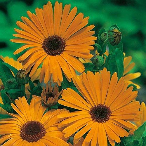 SOW PERFECT Semillas de Flor Creativa Farmer: Semillas de caléndula Naranja Que Brilla Planta de jardín para el jardín macetas de jardín [Semillas Home Garden Eco Pack] Semillas de la Planta