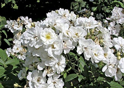 'Seagull', Rambler-Rose im Rosen-Container