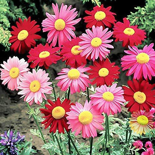 Pyrethrum Chrysanthemum Robinson's Plant Flower Seed Mix 20+ Non-GMO coccineum Seeds for Home Garden Planting