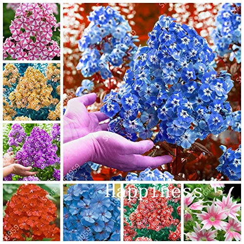 Ferry 100 PC-Mix Phlox Blumen Semente Bonsai Phlox Blumen Phlox Drummondii leuchten Ihr persönlicher Home Garten Bodendecker: Mix