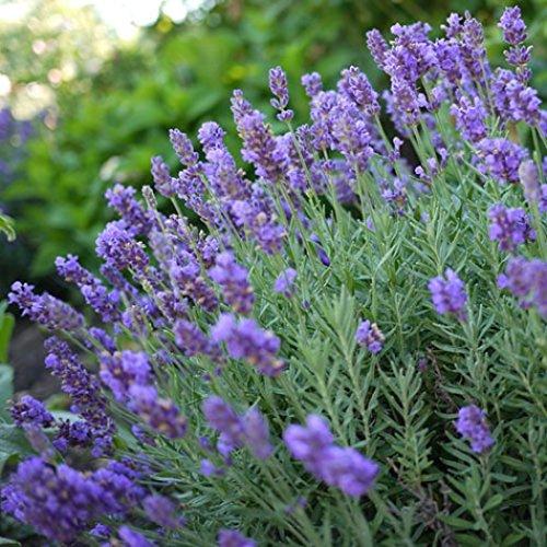 Phenomenal Lavender Plant - 1 Gallon Pot (Lavandula x intermedia 'Phenomenal')