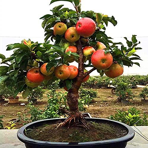 Somerway Semillas de manzanas, 50 unidades, deliciosas semillas prolíficas para siembra de manzanas para jardín, patio, decoración de semillas