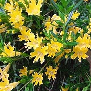 Frescos 5000 semillas - semillas de flores amarillas Mimulus