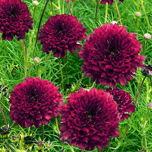 Qulista Samenhaus - 20pcs Selten Beet Dahlien Unwin Mischung Blumensamen mehrjährig winterhart für Rabatten Topf- und Kübelpflanze