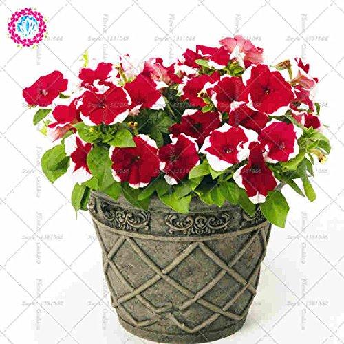 100pcs Pétunia Fleur Bonsai Graines Facile vivace Cultiver les plantes en fleurs pour la maison Balcon Jardin cour intérieure extérieure