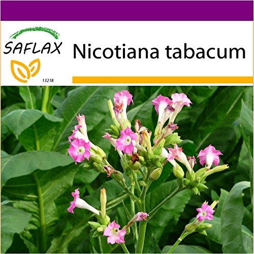 SAFLAX - Big Garden - Echter Virginischer Tabak - 250 Samen - Mit Gewächshaus, Töpfen, Anzuchtsubstrat und Dünger - Nicotiana tabacum
